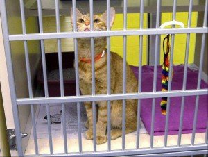 A rescued cat at the county animal shelter in Upper Marlboro